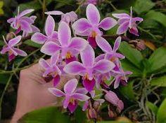 """Résultat de recherche d'images pour """"Phalaenopsis equestris"""""""