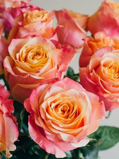 This is Sweetness. It is a bi-color rose variety that's ...