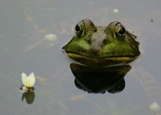 Frog Pictures, Pond Life, Cute Frogs, Frog And Toad, Reptiles And Amphibians, Vertebrates, Beautiful Creatures, Animal Kingdom, Pet Birds