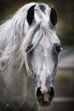 113 best images about Arabian Horses