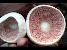 Как снять и получить споры грибов Шампиньона для получения Мицелия. Споровая взвесь Шампиньона - YouTube