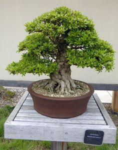 Satsuki Azalea (Rhododendron indicum) Beautiful Gardens, Planter Pots