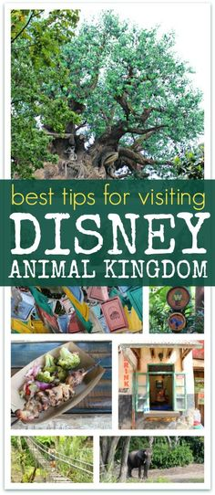 Best Tips for Visiting Disney Animal Kingdom | Food to attractions, exclusive tours and vacation tips for families visiting Walt Disney World Animal Kingdom