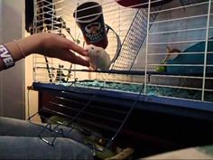 Pet rats are awesome! How to train your rat its name