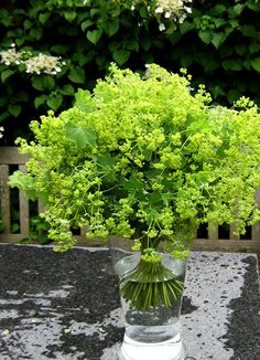 Lady's Mantle ~ a hardy perennial that blooms for a long period and the chartreuse green is a welcome addition to any floral arrangement