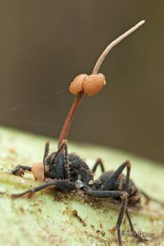 Parasitic fungi: cordyceps, the new safe insecticide