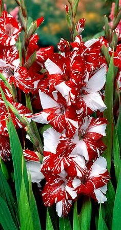 "Rare Perennials ""Gladiolus Zizane"" Large Fresh Gladioli Flower Bulb for sale online Flower Garden, Plants, Bulb Flowers, Amazing Flowers, Gladiolus, Beautiful Flowers, Love Flowers, Flowers, Gladiolus Flower"