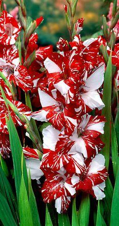 ~~Gladiolia 'Zizanie' | Bakker~~