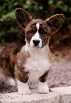 A cardigan brindle Cute Dogs Breeds, Dog Breeds, Cute Puppies, Dogs And Puppies, Cowboy Corgi, Pet Dogs, Dog Cat, Corgi Mix, Cute Dog Pictures