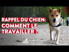 Le rappel du chien - Comment le travailler ? - YouTube Education Canine, Coton De Tulear, Diy Stuffed Animals, Shiba Inu, Springer Spaniel, Scottie, Border Collie, Animals And Pets, Dog Training