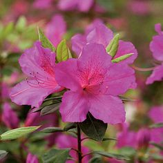 Choose Your Favorite Azalea. Azaleas can bloom from late winter into early summer, depending on type. To extend the season, plant early-, mid-, and late-season bloomers. Here are a few of the azaleas we love most. by tamika Summer Flowers To Plant, Flowers Nature, Colorful Flowers, Planting Flowers, Beautiful Flowers, Flower Plants, Garden Bulbs, Garden Shrubs, Flowering Shrubs