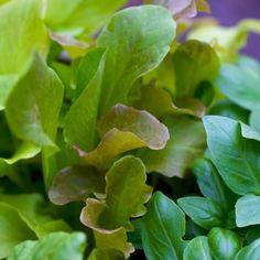 Salad growing tips