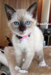 Breed Siamese Snowshoe Cute cats, Snowshoe cat, Cat pics