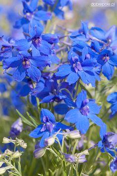 "Siberian Larkspur, Chinese Delphinium 'Summer Nights' (Delphinium grandiflorum) ............................................ Full Sun to Part Shade; Height: 12""; Spread: 12""; Blooms June to September; Zones 3-7"