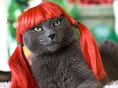 Grey Cat with Red Hair--bandofcats.com-Actually think this kitty is enjoying its new 'do......