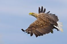 A white tailed sea eagle flying in Inner Hebrides, Scotland.