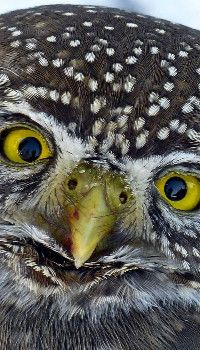 Young Owl Wallpaper Owl Wallpaper Animal Wallpaper Wildlife Wallpaper
