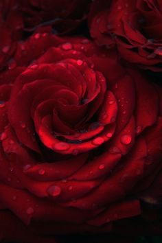 Color Desire Red | Rosamaria G Frangini || Dewy Red Roses ~ Photography by MalinHope