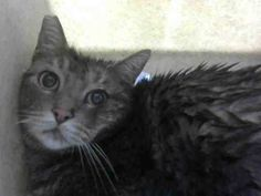 #A469302 Moreno Valley CA Neutered male gray tabby Domestic Shorthair. Age is unknown. I have been at the shelter since Dec 16 2016 and I may be available for adoption on Dec 16 2016 at 12:12PM. http://ift.tt/2gV16yh Moreno Valley Animal Shelter at (951