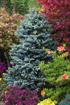 We have four different cultivars of Picea pungens (Blue Spruce) in our garden which are all very similar and these are 'Hoopsii', 'Thompson', 'Hoto' and 'Kosteri'. The cultivar in this photo is Picea pungens 'Thompson'. Evergreen Landscape, Evergreen Garden, Home Landscaping, Front Yard Landscaping, Azaleas Landscaping, Trees And Shrubs, Trees To Plant, Conifer Trees, Landscape Design