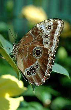 Le papillon bleu Morpho peleides, au Jardin botanique de Montréal