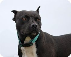 Pictures of Hope a Boston Terrier/Pit Bull Terrier Mix for adoption in Natchitoches, LA who needs a loving home.
