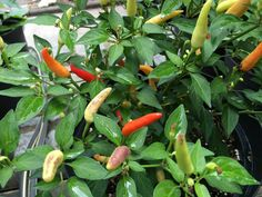 Basket of Fire Chili Capsicum Annuum, Permaculture Design, Healthy Environment, Stuffed Hot Peppers, Chilis, Agriculture, Vegetable Garden, Mother Nature, Sauces