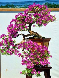 A cascading bonsai tree in FULL bloom. This is truly a beautiful bonsai tree. Bougainvillea Bonsai, Flowering Bonsai Tree, Bonsai Tree Care, Bonsai Tree Types, Ficus Bonsai, Bonsai Plante, Indoor Bonsai, Bonsai Garden, Plants Indoor