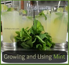 How+To+Grow+Mint+-+Types+of+Mint+-+and+a+Mint+Drink+Recipe+:+Learn+how+to+grow+mint,+the+different+types+of+mint+-+from+Orange+Mint+to+Chocolate+Mint+to+Ginger+Mint+and+everything+between+-+and+a+Mint+Drink+Recipe.