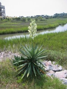 Yucca Plant...A Perennial, evergreen shrub. Native to southwestern U.S., it thrives in soil that drains well can be in full sun. The creamy-white flowers bloom best in full sun, during mid to late summer, with some yucca growing as tall as 10 feet leaves that reach about 2 ½ feet in length. When landscaping with yuccas, it is best to keep them away from sidewalks / high traffic areas as the leaves are extremely sharp can cut someone if they should brush up against the plant. Zones 3-10.