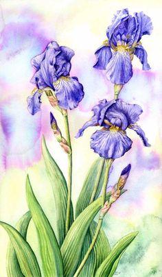 How to Draw iris | Bearded Irises . Iris germanica