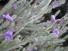 Eremophila nivea Blue Velvet 200mm grafted - Grevillea Nursery