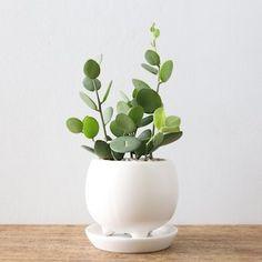 Succulents and green drum (three foot Pot)