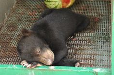 Looking into the Future of Kalimantan's Sunbears | BOS Foundation low Beruang-2