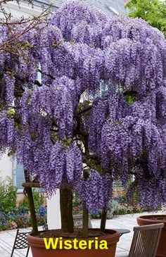 Purple Wisteria Tree (grows in zone Drought tolerant so you don't have to water Pest & disease resistant- no spraying! Fragrant blooms you can smell from a distance Purple Flowering Tree, Wisteria Tree, Wisteria Pergola, Purple Wisteria, Purple Flowers, Pergola Shade, Wisteria Wedding, Flowers Nature, Dwarf Flowering Trees
