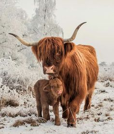 Elliot ( 10 days old) with his Mum. - - Franzi Kolp - Elliot ( 10 days old) with his Mum. - Elliot ( 10 days old) with his Mum. Farm Animals, Animals And Pets, Funny Animals, Cute Animals, Scottish Highland Cow, Highland Cattle, Beautiful Creatures, Animals Beautiful, Fluffy Cows