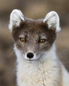 Arctic FoxbyJaap Vink