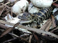 Newly Hatched Baby Alligators, Everglades National Park, Florida (pinned by haw-creek.com)