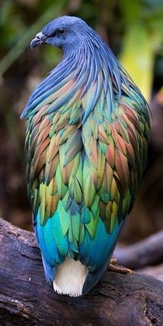 Nicobar Pigeon is native to Tropical Pacific Islands. - Nicobar Pigeon is native to Tropical Pacific Islands. Nature Animals, Animals And Pets, Baby Animals, Funny Animals, Cute Animals, Eagle Animals, Wild Animals, Exotic Birds, Colorful Birds