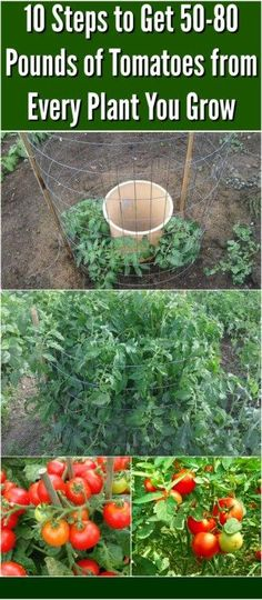 10 Steps to Get 50-80 Pounds of Tomatoes from Every Plant You Grow