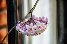 Clepia abatida.®Fotos Sin Porque Primera flor de mi Clepia en el año. #Fotos,#Fotografía,#Photos,#Flores,#Clepia