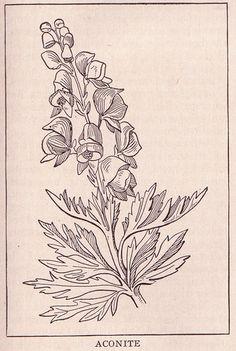 Aconite (buttercup family) ~ public domain illustration, 1917.