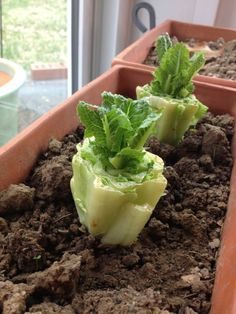 Romaine Lettuce Put romaine lettuce stumps in a 1/2 inch of water. Re-water to keep water level at 1/2 inch. After a few days, roots and new leaves will appear and you can transplant it into soil.