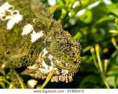 Adult Southern Dwarf Chameleon.