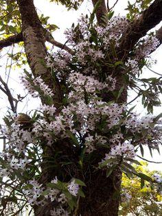 Orquideas nativas de Foz do Iguaçu PR - Pesquisa Google