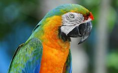 Macaw Parrots | Macaw Colorful Parrot | 1680 x 1050 | Download | Close