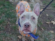 SAFE 01/16/15!  Was TO BE DESTROYED - 12/24/14 Manhattan Center   My name is WINTERQUEEN. My Animal ID # is A1023369. I am a female chocolate and white am pit bull ter mix. The shelter thinks I am about 1 YEAR.  .For more information on adopting from the NYC AC&C, or to find a rescue to assist, please read the following: http://www.urgentpetsondeathrow.org/must-read/