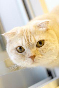 Scottish Fold Cat -- photo by yasa_, via Flickr