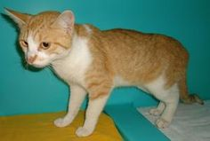 TRUFFLES HAS BEEN ADOPTED! Truffles***URGENT*** is an adoptable Domestic Short Hair - Orange And White Cat in Emporia, KS. Found at Green Acres. If interested in adopting a pet you will need to fill out a request to adopt. This...