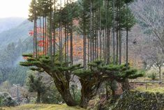 Kyoto, Free Lumber, Terre Plate, Cedar Forest, Forest Cabin, Forest Plants, Cedar Trees, Single Tree, Colossal Art